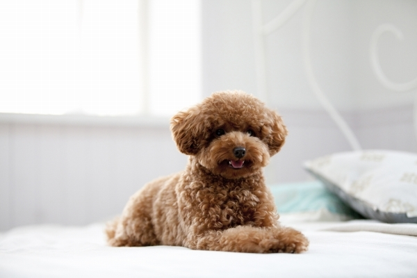 小型犬(トイプードル、ポメラニアン、チワワなど)